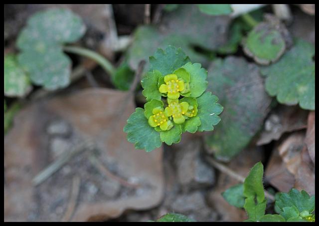 Chrysosplenium alternifolium (3)