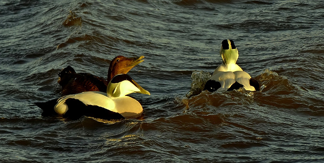 Two Males and Female Eider