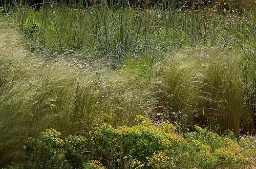 Stipa tenuifolia (1)