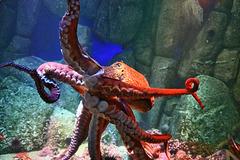 North Pacific Giant Octopus – Monterey Bay Aquarium, Monterey, California