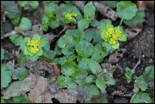 Chrysosplenium alternifolium (4)