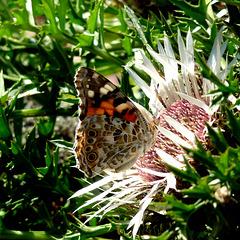 Papillon Vosgien