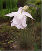 Aquilegia vulgaris hybride