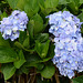 Azores, Island of San Miguel, Flowers of Hortensia