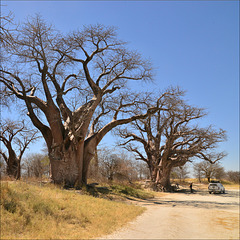 Baines Baobabs.
