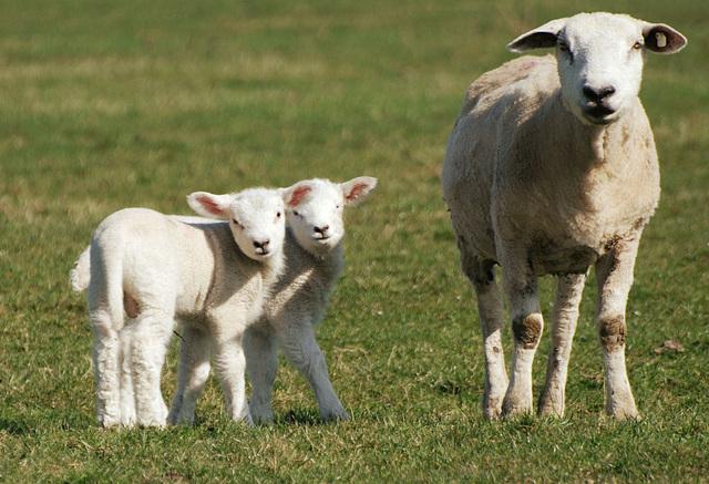 """""""Das sind Zwillinge, du Dussel, kein Doppel-Kopf-Schaf!"""""""