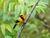 Yellow Oriole, Trinidad