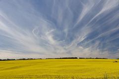 Canola Field and Sky