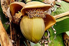 Une fleur de bananier