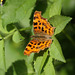 Comma (Polygonia c-album) butterfly