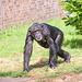 Chimp (1)