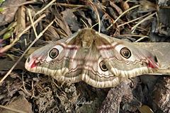 Great Peacock (Emperor) Moth   /   April 2020