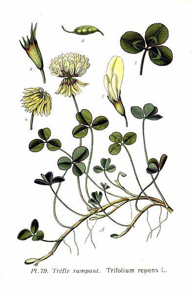 393px-79 Trifolium repens L
