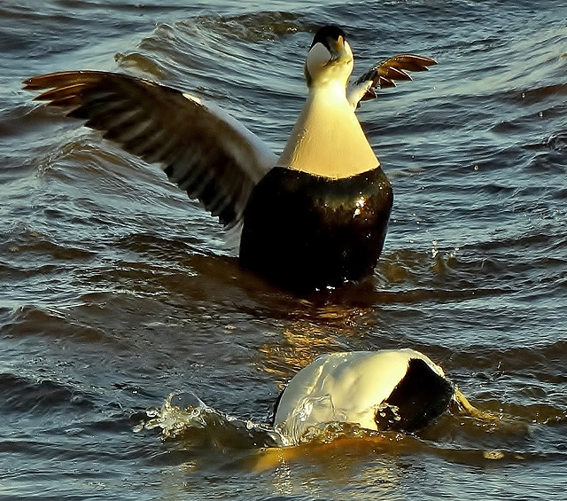 Male Eiders having fun!!