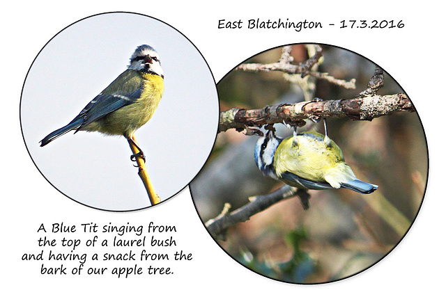Blue Tit at East Blatchington - Sussex - 17.3.2016
