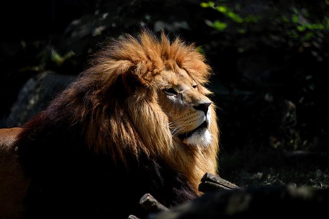 Sonnenlicht im Löwengesicht