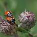 Frühlingsgefühle bei Marienkäfern