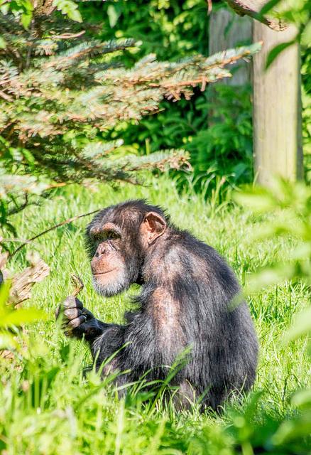 Chimp (3)
