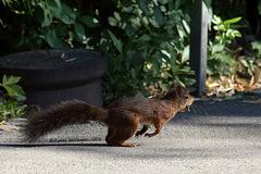 Eichhörnchen am Start (Wilhelma)