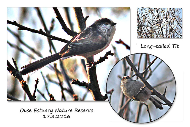 Long-tailed Tit at the Ouse Estuary Nature Reserve - Denton - Sussex - 17.3.2016
