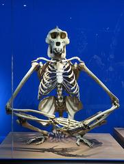 Gorille mâle, Musée des Confluences, Lyon (Rhône)