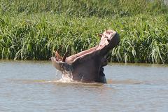 Ethiopia, Tana Lake, Yawning Hippopotamus