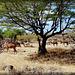 Oman :  Ṣalāla - un'oasi verde per dromedari