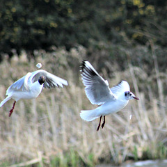 Blackhead gulls