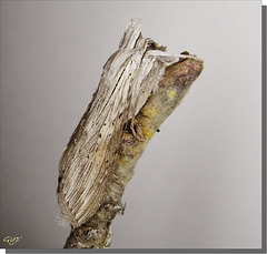 Cucullia umbratica