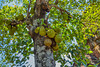 Jackfruit in the tree in Muang Prasat Singh, Kanchanaburi, Thailand