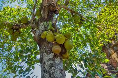 Jackfruit in the tree in Muang Prasat Singh, Kanchanaburi, Thailand