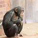 Chimp contemplation..