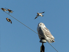 Snowy Owl harassed by Snow Buntings