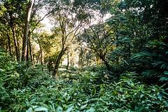 Cardamom forest