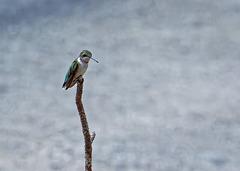 Hummingbird.   7237233