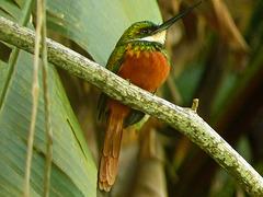 Rufous-tailed Jacamar, Tobago, Day 2