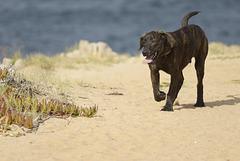 Castro Laboreiro, portuguese shepherd dog