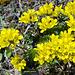 Immergrünes Felsenblümchen (Draba aizoides)