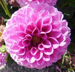 Dahlia en rose...
