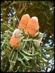 Banksia cones(flowers)