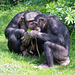 Chimp party