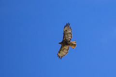 """""""Red-Tailed Hawk"""