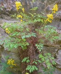 Gelber Lärchensporn - floreto en la muro