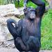 Chimp signalling