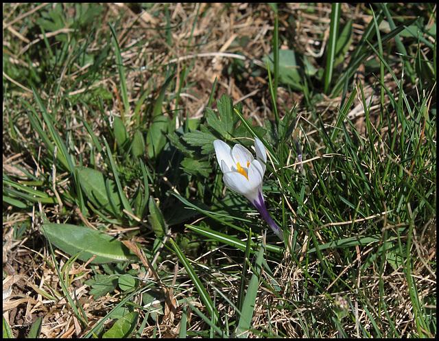 Crocus vernus (3)