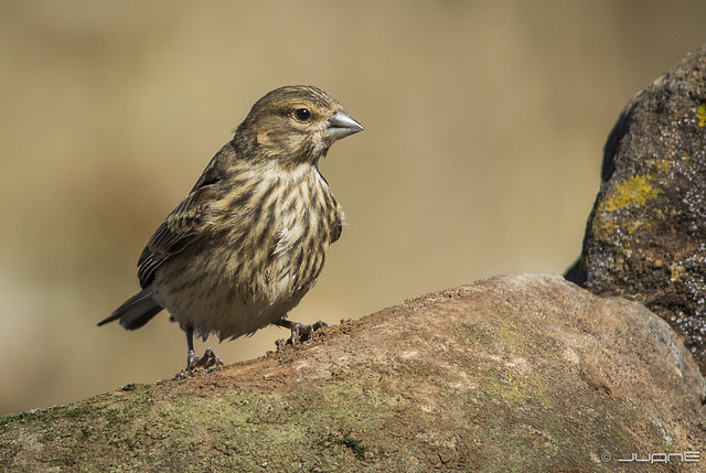 Pardillo comun - Carduelis cannabina. (♀)