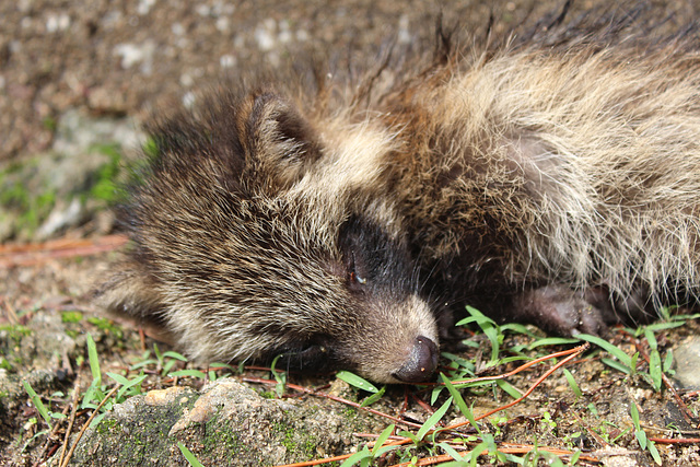A Baby Raccoon