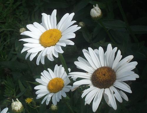 Marguerites...
