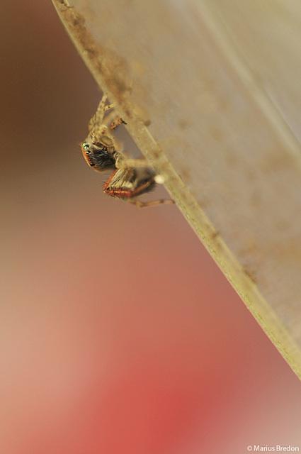 Araignée volante