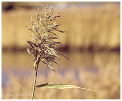 Reed Bed Seed Head